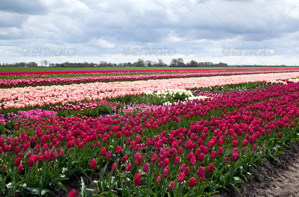 PhotoDune Dutch tulip fields 4102054