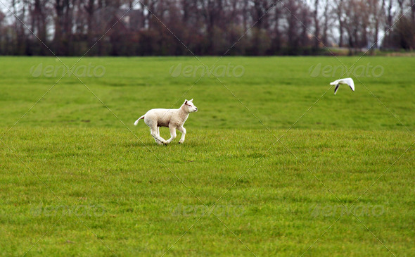 PhotoDune lamb running 4102074