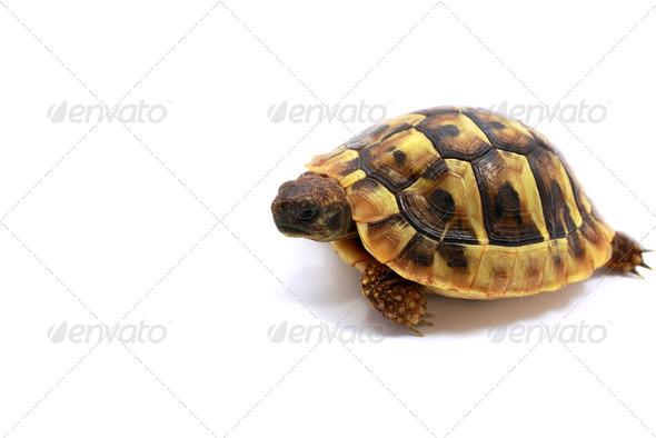 PhotoDune Testudo hermanni baby 4102108