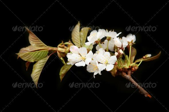 PhotoDune cherry flowers 4102113