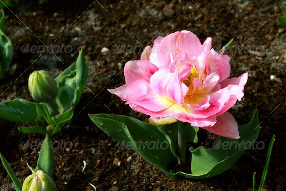 PhotoDune pink tulip 4102152