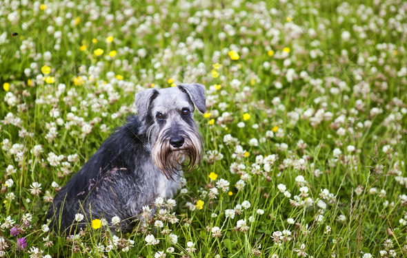 PhotoDune schnauzer sit in grass 4102151