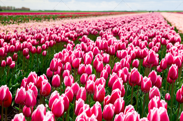 PhotoDune field of red and white tulips 4102169