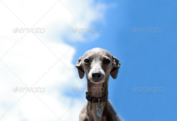 PhotoDune Italian Greyhound 4102194