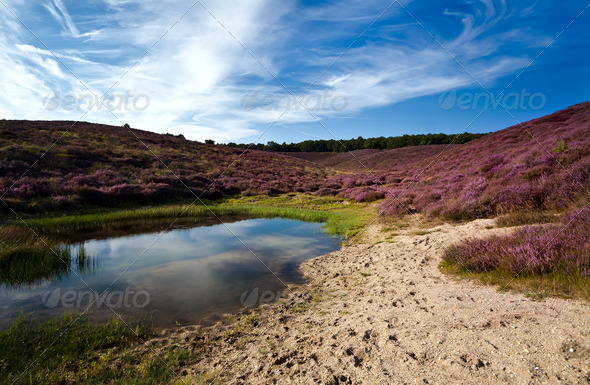 PhotoDune wild pond and sandy dunes covered with flowering heather 4102198