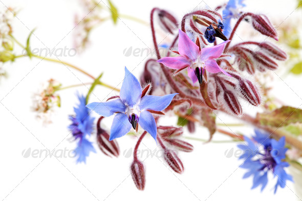 PhotoDune wild blue flowers on white 4102263