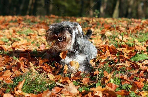 PhotoDune schnauzer in the autumn 4102279
