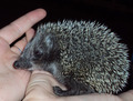 Hedgehog 8 - PhotoDune Item for Sale