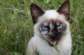 Siamese Cat - PhotoDune Item for Sale