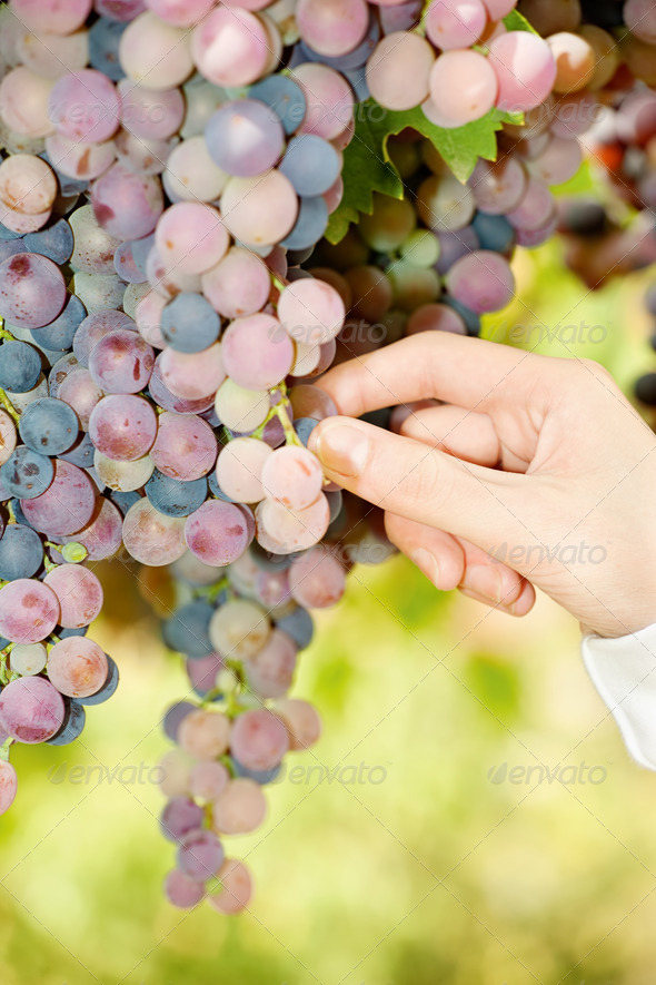 grape in a vineyard - Stock Photo - Images