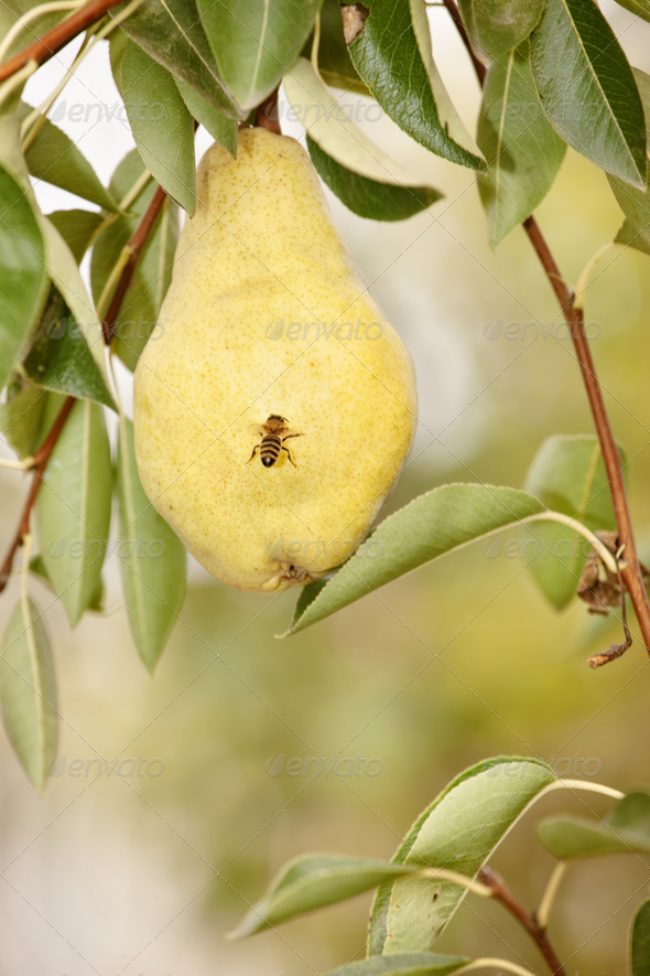 Bee on pear in orchard - Stock Photo - Images