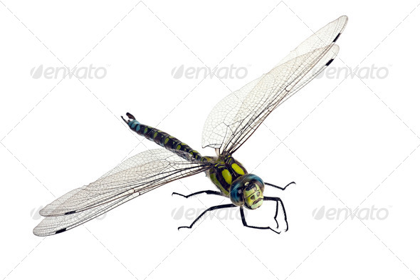 PhotoDune Dragonfly on white 4047988