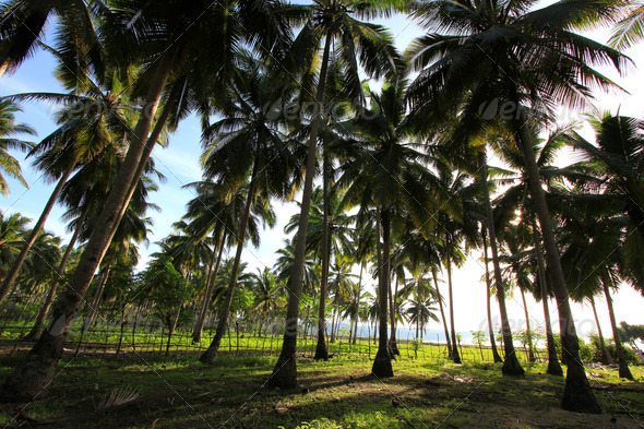 PhotoDune Wide angle shot of a coconut plantation on Sumba Indonesia 4049435