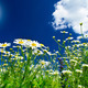 Wonderful camomiles against blue sky background. - PhotoDune Item for Sale