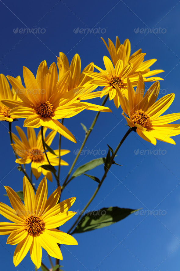 PhotoDune Yellow topinambur flowers daisy family against blue sky 4049260