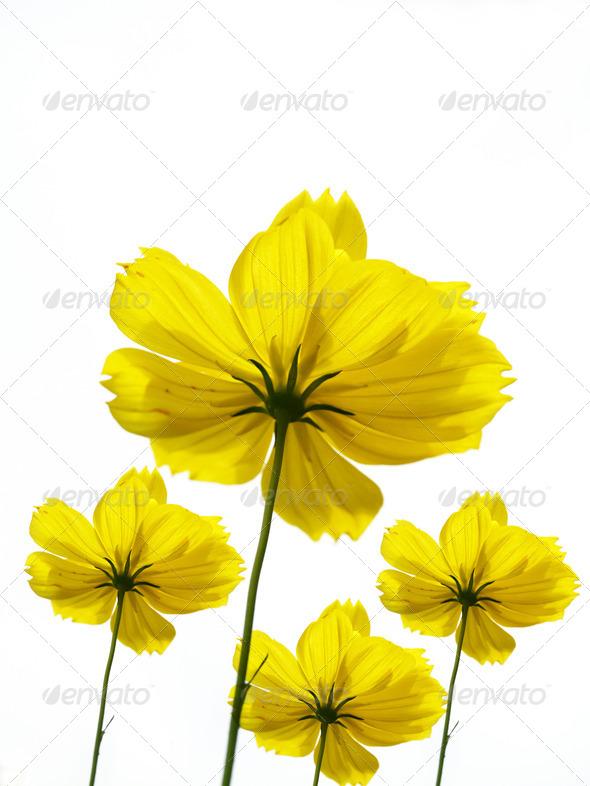 PhotoDune yellow flower or cosmos Flower 4049477