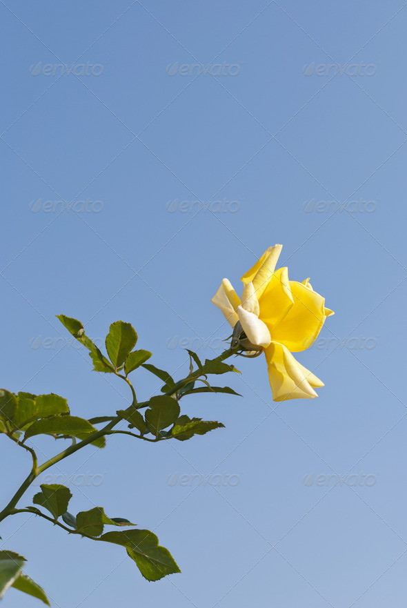 Yellow Rose - Stock Photo - Images