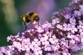 Bumblebee on Lilac - PhotoDune Item for Sale