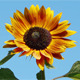 Orange Sunflower  - VideoHive Item for Sale