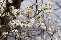 Plum flowers - PhotoDune Item for Sale