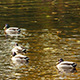 Ducks in a Pond - VideoHive Item for Sale