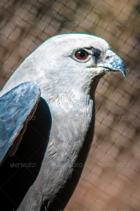 Mississippi Kite raptor bird - Stock Photo - Images