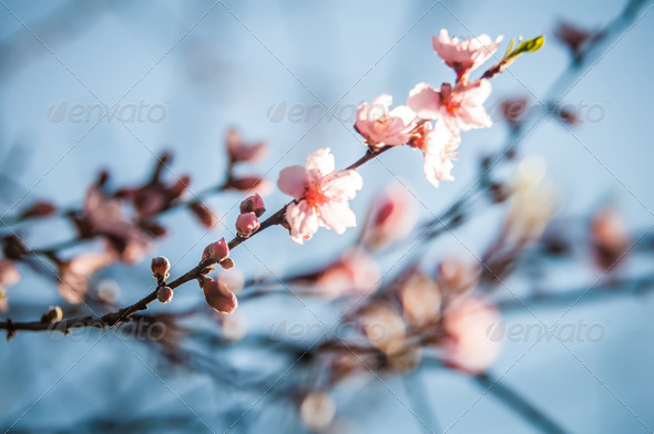 Spring peach blossom in garden with blue sky background - Stock Photo - Images