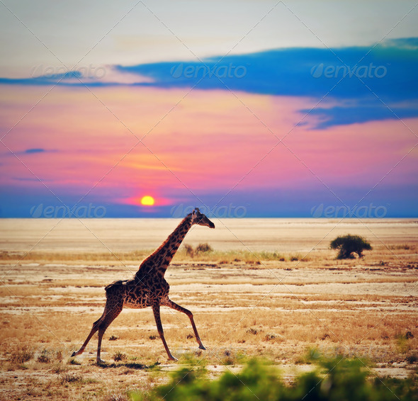 Giraffe on savanna. Safari in Amboseli, Kenya, Africa - Stock Photo - Images