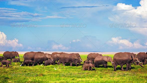 Elephants herd on savanna. Safari in Amboseli, Kenya, Africa - Stock Photo - Images