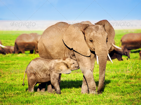 Elephants family on savanna. Safari in Amboseli, Kenya, Africa - Stock Photo - Images