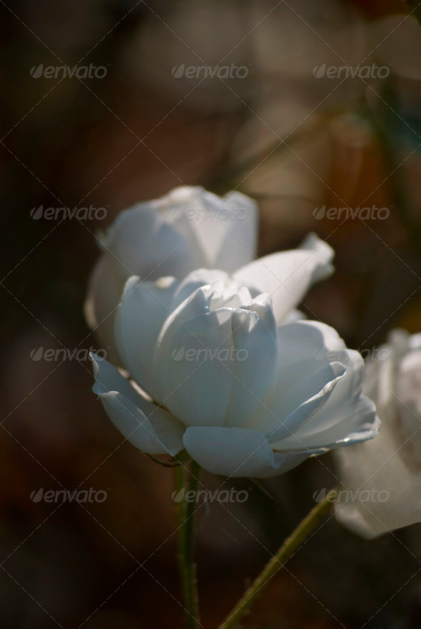 White Rose - Stock Photo - Images