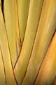 Traveler's palm, Close up texture of traveler's palm. - PhotoDune Item for Sale