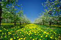 Amazing apple orchard in spring. - PhotoDune Item for Sale