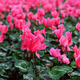 Pink Bed Of Zen Flowers Covered With Water Drops - PhotoDune Item for Sale