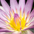 Pink and Yellow Water lily - PhotoDune Item for Sale