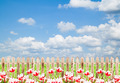 Colorful tulips with wood fence against blue sky background - PhotoDune Item for Sale