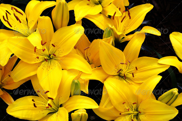 PhotoDune Beautiful Yellow Lily 4082716