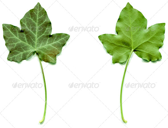 PhotoDune Ivy leaf 4081428