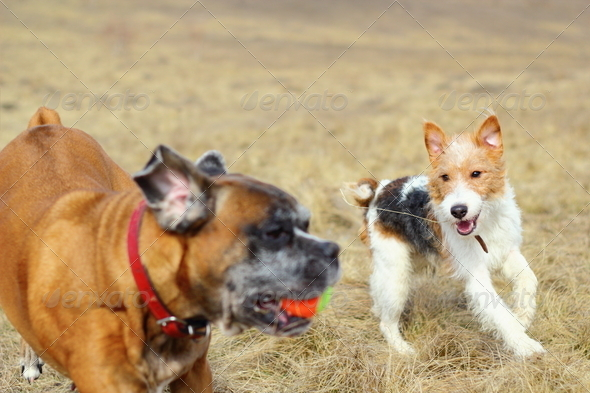 PhotoDune fox terrier playing with boxer 4081663