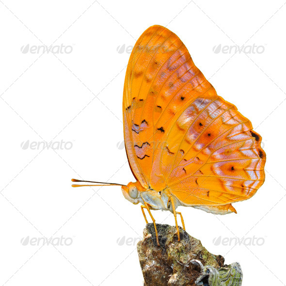 PhotoDune orange butterfly 4082158