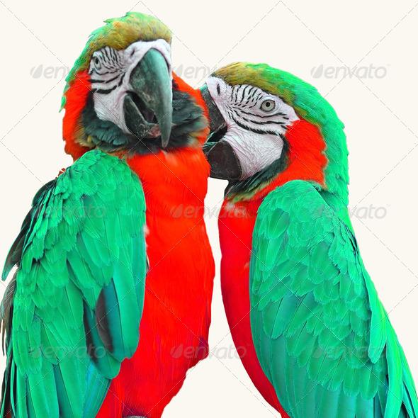 PhotoDune macaw love bird 4082160
