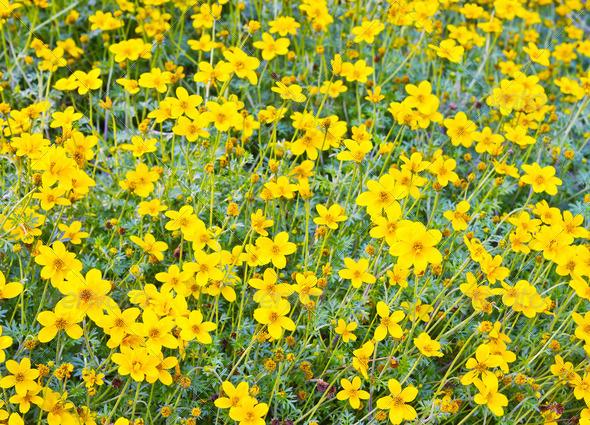 PhotoDune Yellow cosmos flower 4082239