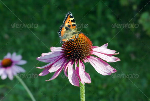 PhotoDune The butterfly collecting pollen on a flower 4082444