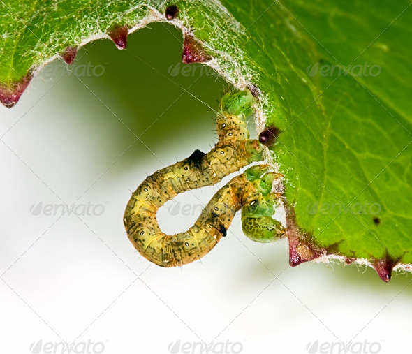 PhotoDune Big caterpillar on a green leaf 4082463