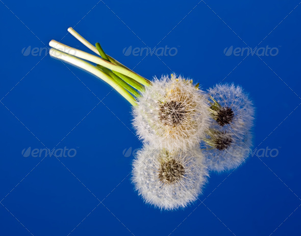PhotoDune Three dandelions on a mirror 4082472