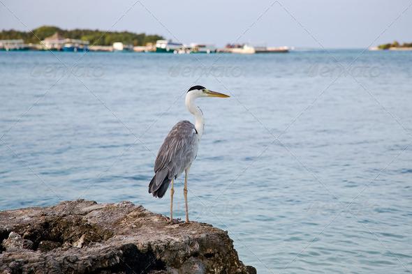 PhotoDune Grey heron on coast of ocean 4082481
