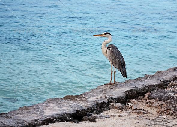PhotoDune Grey heron on coast of ocean 4082496