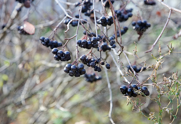 PhotoDune Black berries in the late autumn at garden 4082534