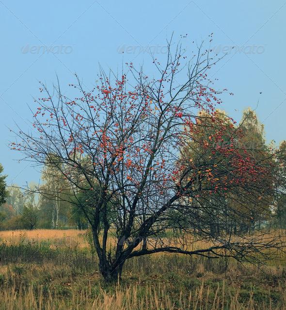 PhotoDune Wild apple tree 4082545