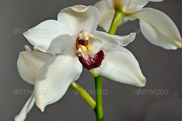 PhotoDune White orchid 4082671